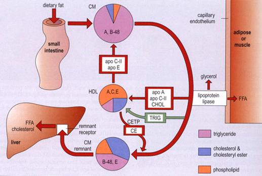 021517_2045_1 استقلاب البروتينات الشحمية
