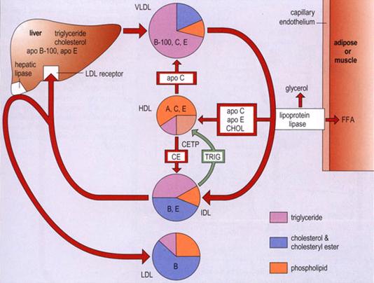 021517_2045_2 استقلاب البروتينات الشحمية